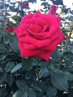 A rose by any other name...